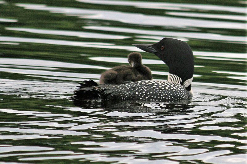 loons 01